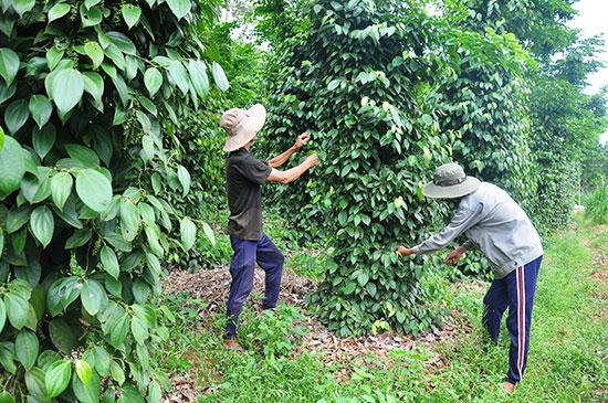 Hỗ trợ người dân cải tạo vườn tạp thành vườn kinh tế là một trong những nội dung quan trọng của việc xây dựng khu dân cư NTM kiểu mẫu. Ảnh: VĂN SỰ