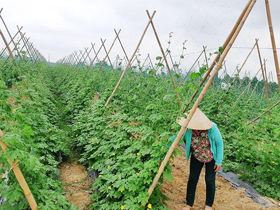 Nông dân Bàu Tròn chăm sóc vùng rau chuyên canh. Ảnh: H.L
