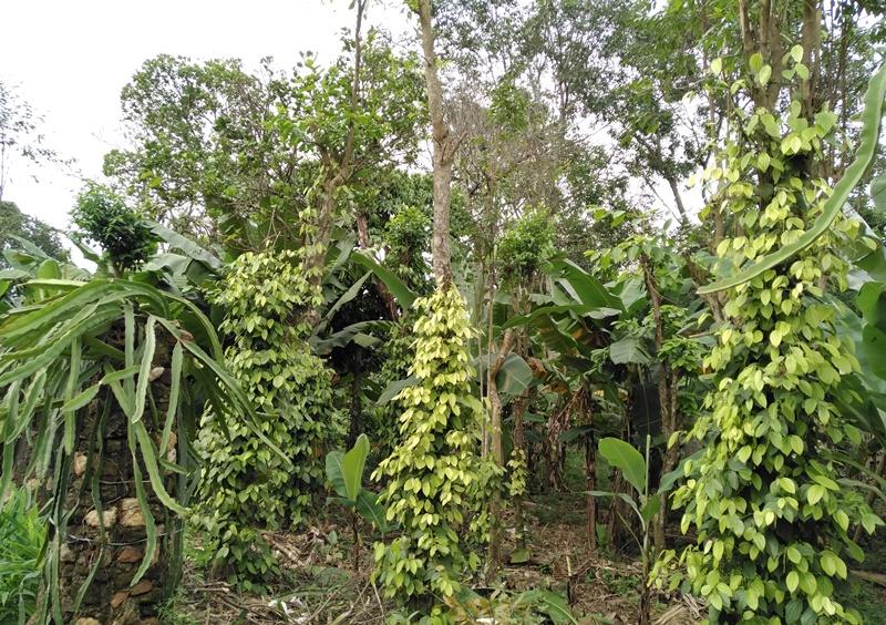 Tận dụng diện tích đất vườn hơn 2ha, anh Huân đã trồng rất nhiều cây ăn quả. Ảnh: L.C
