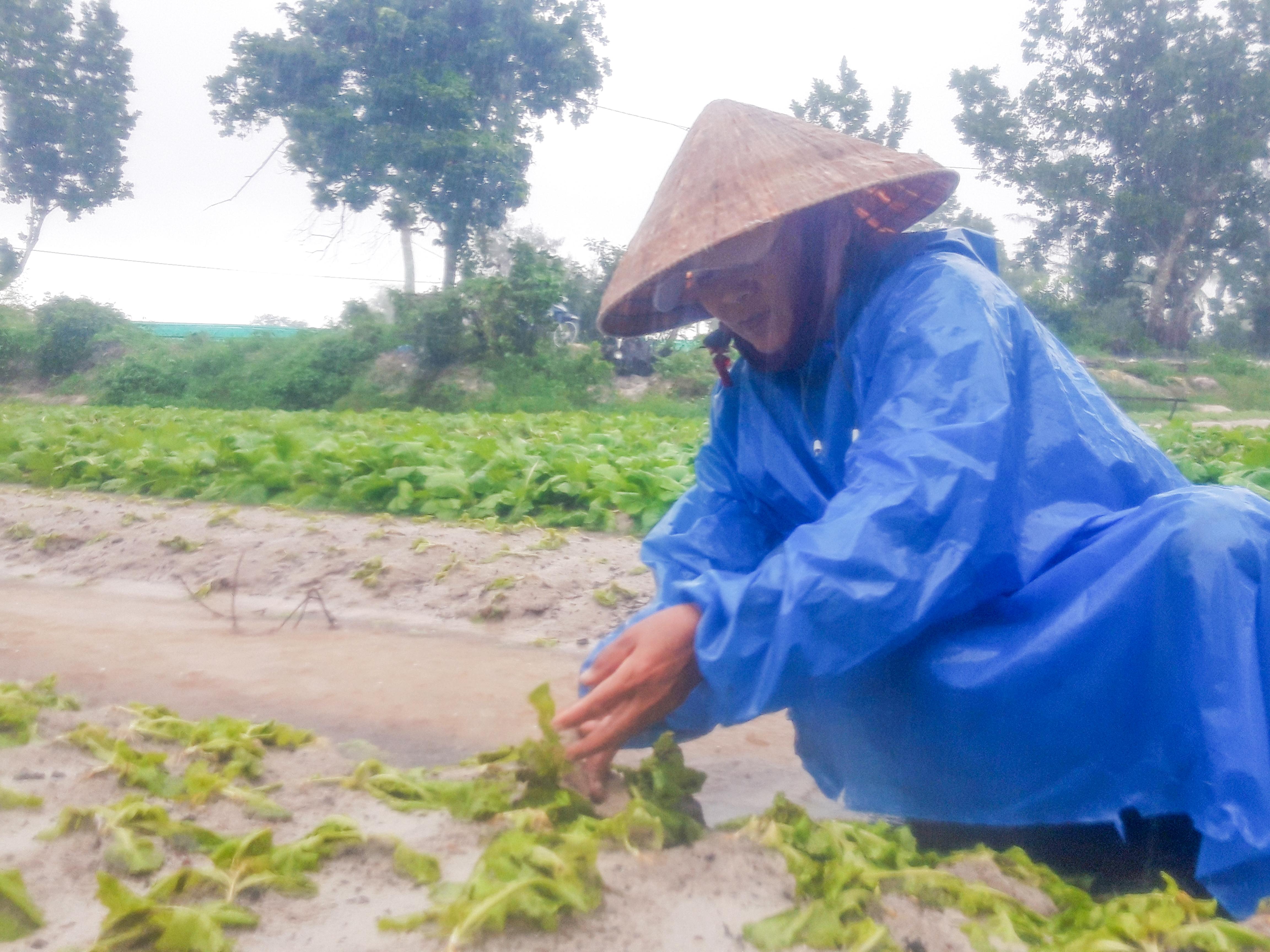 Những luống rau của người dân làng rau Hưng Mỹ vừa trồng hơn 1 tháng nay đã ngập úng hoàn toàn. Ảnh: Hồ Quân