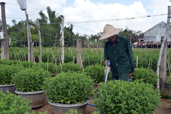 Mưa lớn khiến làng hoa Hà Đông bị mất giá khoảng 20% do cây không đẹp