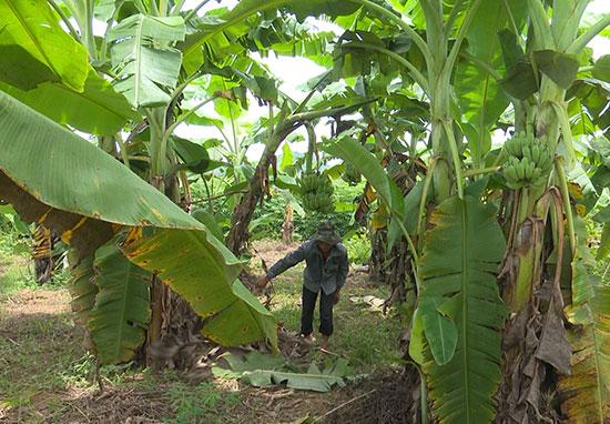 Ông Lê Văn Ba (xã Trà Đông, Bắc Trà My) đã áp dụng mô hình trồng chuối mốc trên những chân ruộng cạn, đem lại hiệu quả kinh tế cao. Ảnh: D.L
