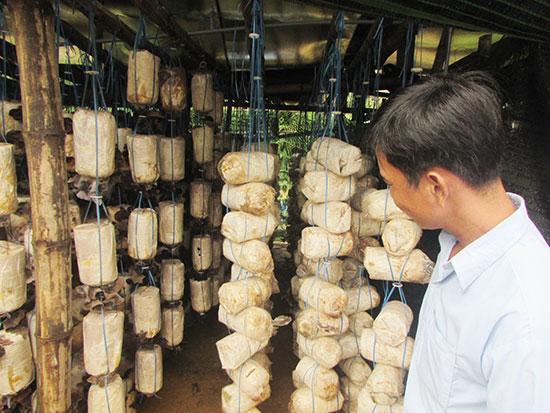 Mô hình nấm của ông Nguyễn Kim Hải ở xã Tam Trà. Ảnh: Văn Phin