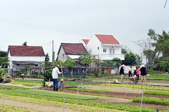 Nhiều nhà cao tầng xây dựng xung quanh làng rau Trà Quế làm phá vỡ cảnh quan của làng. Ảnh: K.L