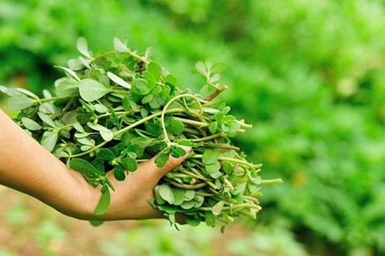 Cây sam được mệnh danh là rau