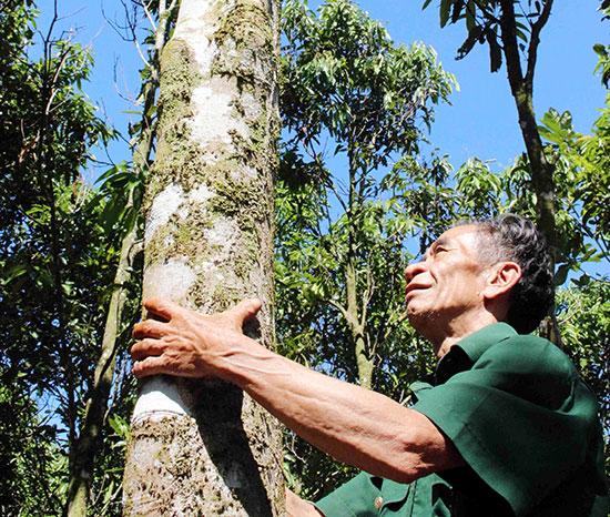 Nỗ lực gìn giữ những vườn quế gốc ở xã  Trà Leng. Ảnh: B.T