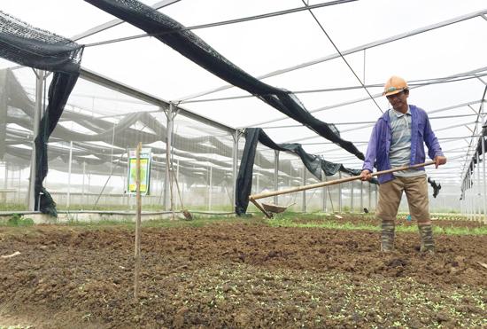 Nhân rộng các mô hình liên kết sản xuất giữa doanh nghiệp, HTX với nông dân để ổn định canh tác. Ảnh: PHAN VINH