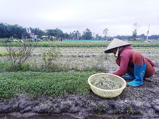 Sau mưa lụt, bà Hồ Thị Lan trồng lại rau ngắn ngày để bán và chuẩn bị trồng rau tết. Ảnh: X.T