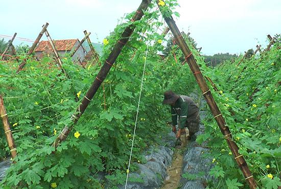 Vườn khổ qua đang vào mùa thu hoạch của ông Nguyễn Xô. Ảnh: SƯƠNG THỰC