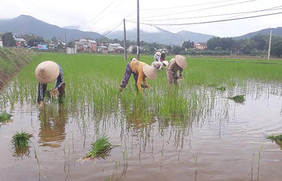 Người dân huyện Nông Sơn thường xuyên ra đồng thăm lúa, tiến hành dặm tỉa để cây lúa phát triển tốt. Ảnh: LÊ THÔNG
