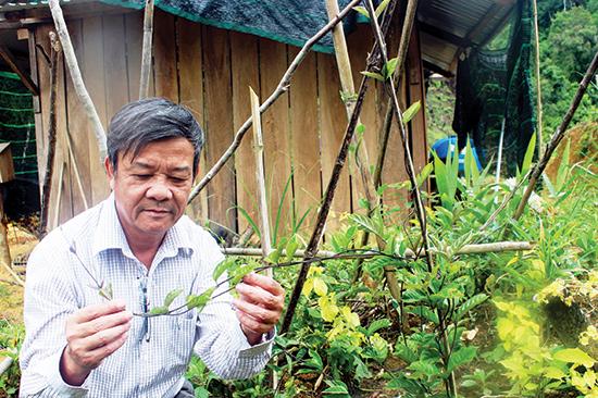 Lãnh đạo Sở NN&PTNT kiểm tra mô hình trồng ba kích tím của HTX Thiên Bình (Tây Giang). Ảnh: Hoàng Liên