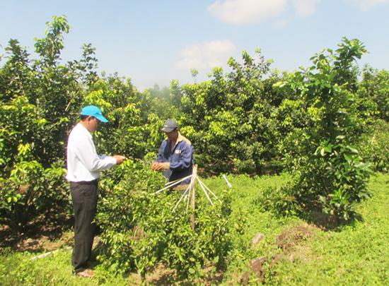 Trồng cây ăn quả ở xã Tam Mỹ Tây. Ảnh: VĂN PHIN
