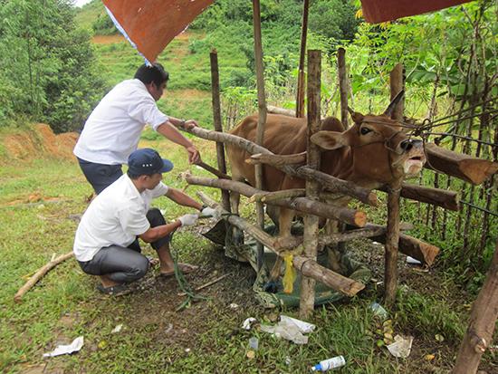 Hầu hết người dân đều chăn nuôi theo kiểm thả rông nên khó khăn cho việc tiêm phòng.