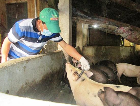 Thời gian qua, người chăn nuôi chủ yếu tiêm phòng vắc xin dịch tả cho đàn heo chứ không chích ngừa vắc xin LMLM. Ảnh: N.S