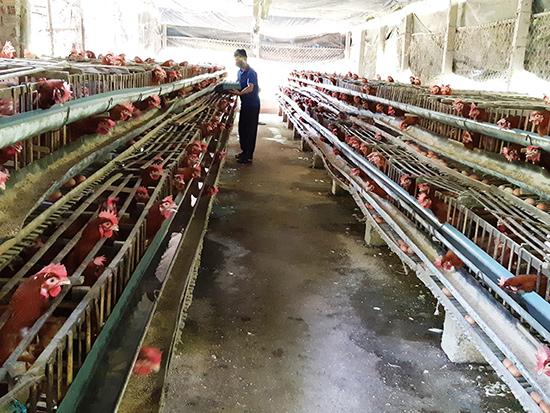 Phòng chống dịch bệnh trên đàn gia súc, gia cầm là nhiệm vụ được huyện Đại Lộc chú trọng. Ảnh: HOÀNG LIÊN