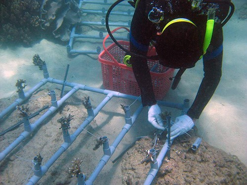 Planting coral in Cham Inslands' seabed. Photo: The Management Board of Cham Islands Marine Protected Area.