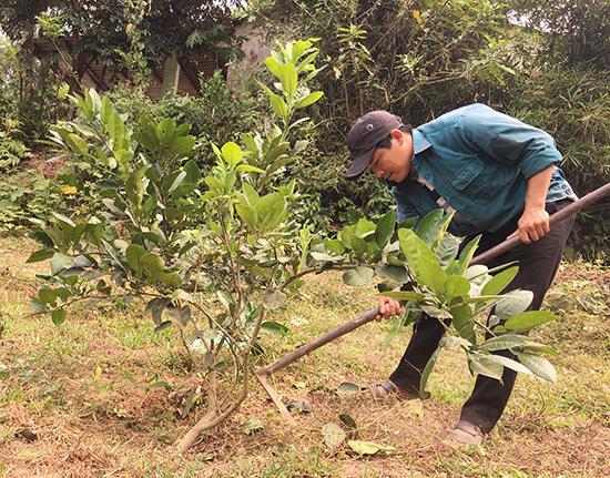 Anh Lưu Văn Chương (thôn Phú Gia 2, xã Quế Phước) chăm sóc vườn cây bưởi trụ do Đoàn xã hỗ trợ. Ảnh: L.T