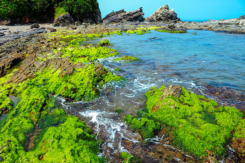 Green moss covers all the Ban Than reef, making it a new tourist site of Tam Hai island commune