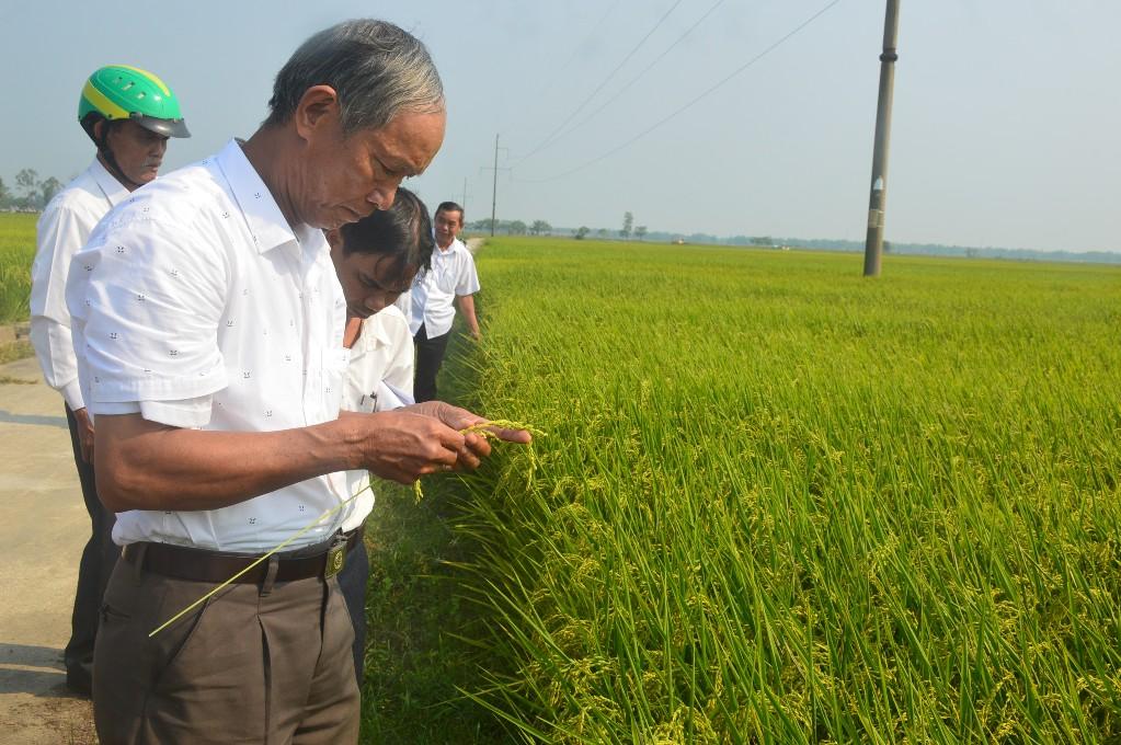 Cây lúa áp dụng gói kỹ thuật canh tác tiên tiến có hạt chắc hơn so với ruộng lúa ngoài đối chứng. Ảnh: Q.T