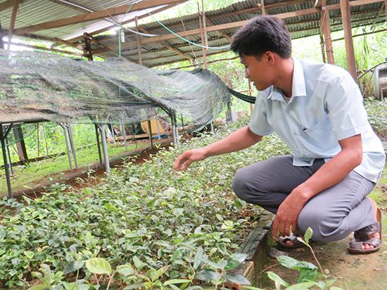 Vườn ươm cây ba kích của HTX Thiên Bình, xã Lăng. Ảnh: H.L