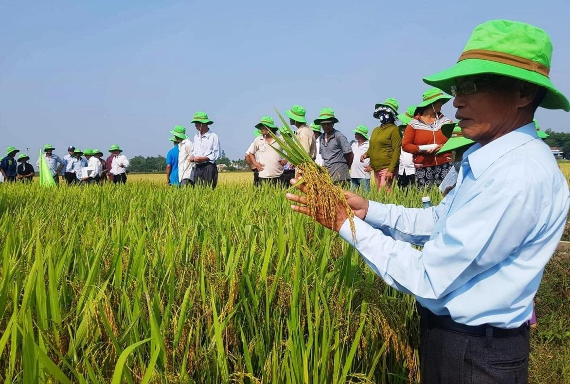 Paddy field in Quang Nam province.