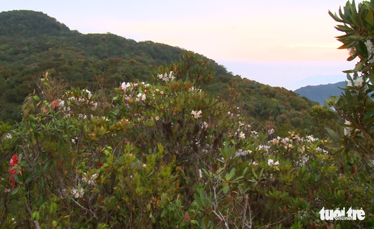 Rhododendron flowers covering the mountainsides.