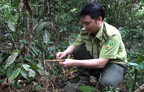 A forest ranger and a morinda officialis in the forest.