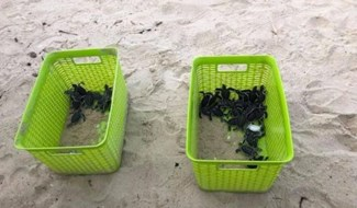The baby turtles released to the sea