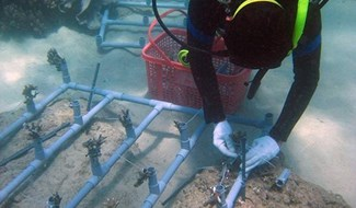 Planting coral on Cham Inslands' seabed. Photo: The Management Board of Cham Islands Marine Protected Area.