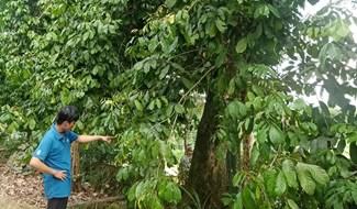 Nhiều vườn lòn bon Tiên Châu rộng lớn thất thu vụ trái chính vụ. ảnh: TR.NHAN